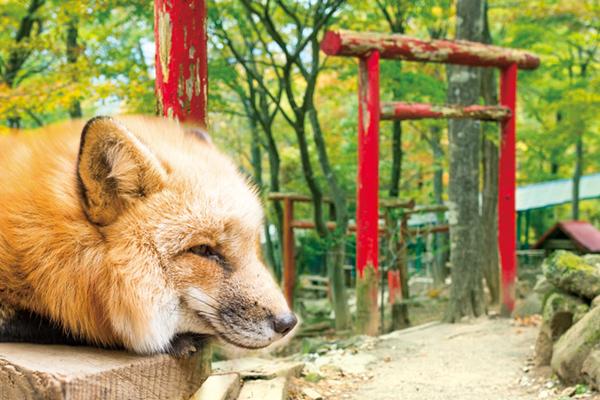 宮城-狐狸村